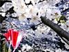 穴場スポットから名所・目黒川沿いまで 広域渋谷圏の「花見」スポット事情2008